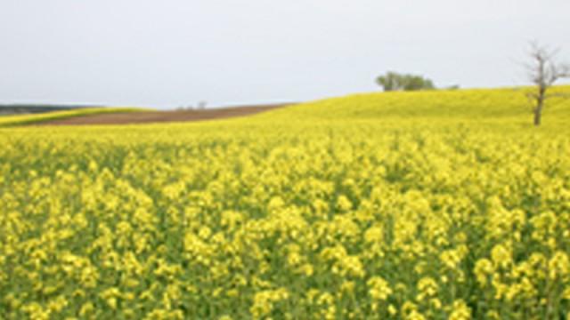 日本一の黄色い絨毯「菜の花」