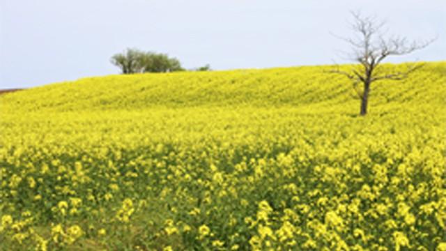 「菜の花の町」横浜町の黄色い畑