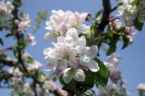 青森県の花「りんごの花」