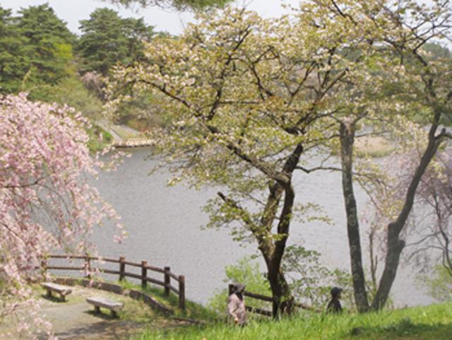 六戸町の山桜自然公園「舘野公園」