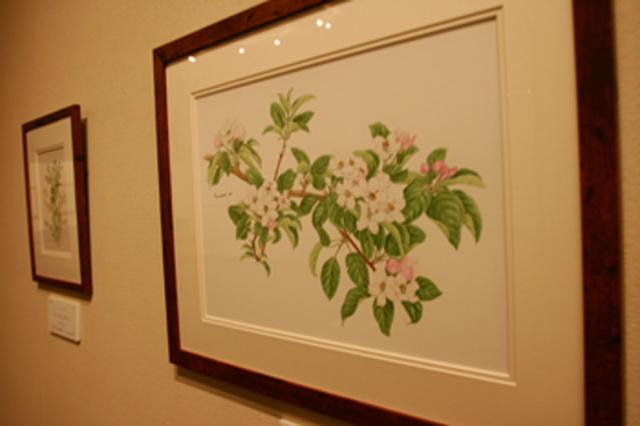 「りんごを描く」展、弘前市立博物館で開催中