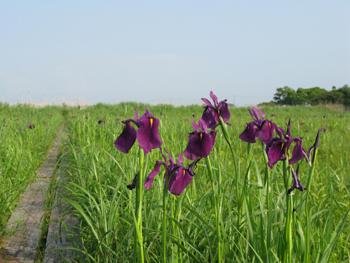 紫のノハナショウブ