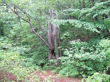 猿ヶ森の埋没林