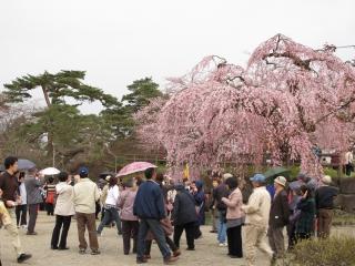 弘前で花見