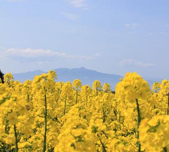 横浜町の菜の花