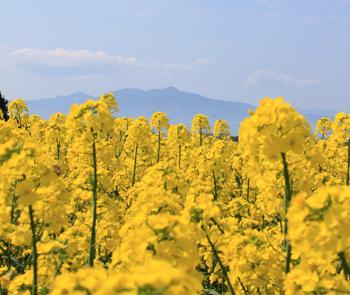 口に広がる菜の花畑