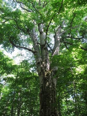 日本一大きいブナの木