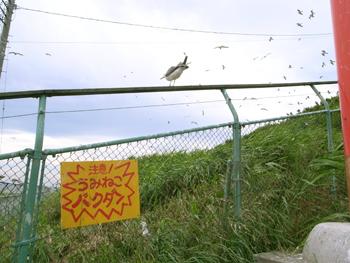 ウミネコ繁殖地 蕪島 観察できるのはあと少し!!