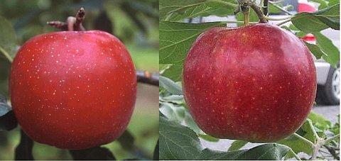 りんごの新品種