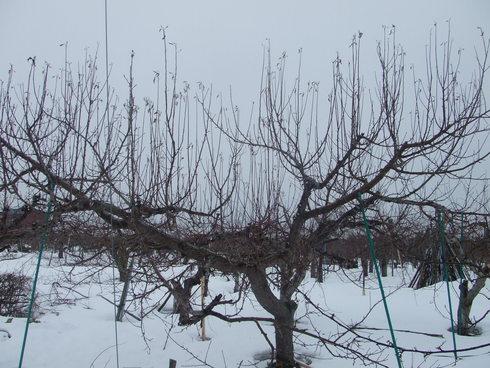 青森りんごの「整枝・剪定」