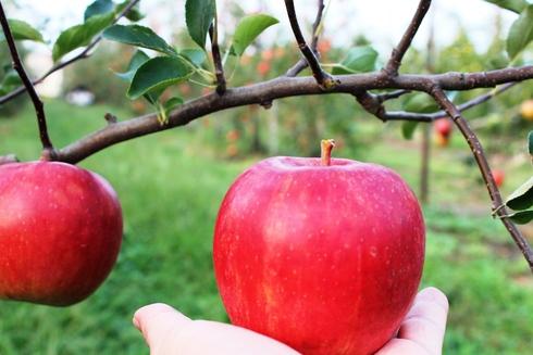 今が旬!青森りんごを収穫しよう