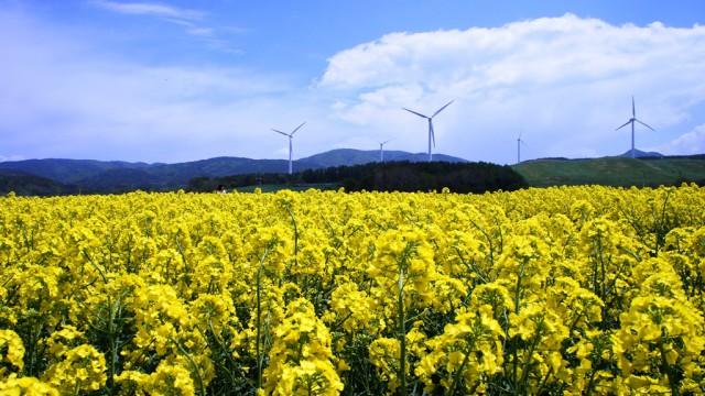 横浜町に広がる一面の黄色い菜の花畑