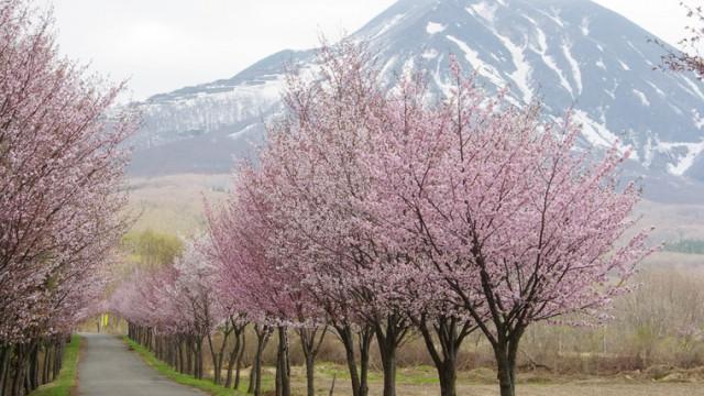 世界一の桜並木をノルディック・ウォーク