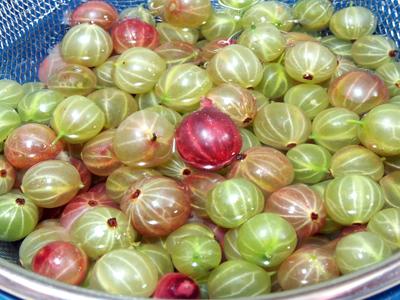 するどい酸味の楽しい果実 「すぐり」1