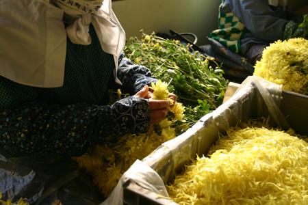 南部地方の秋を彩る食用ギク 「阿房宮」