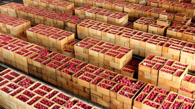 まるでアート!日本一のりんご市場を見学
