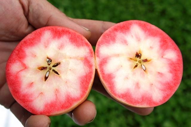 ポリフェノール8倍!のリンゴ「御所川原」
