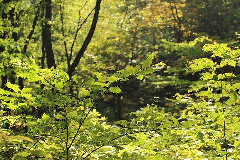 紅葉ピークまであと少し。白神の森遊山道