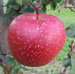 新発想の変色しにくいりんご。ただいま愛称募集中です!