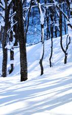 雪に守られた森 ・・・冬の白神山地