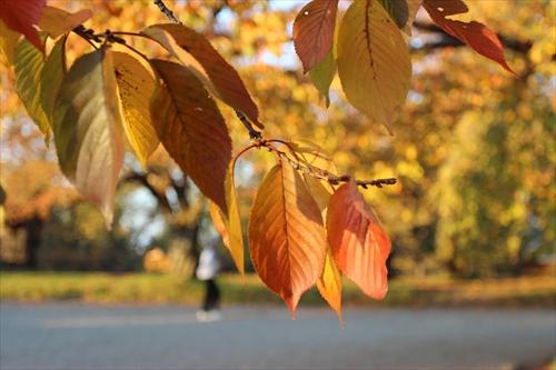 石垣工事直前、弘前公園では紅葉が見頃