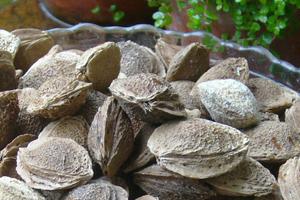 南部地方の在来種 あんずの「八助」で杏仁豆腐