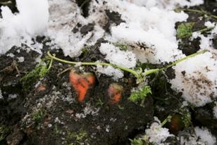 雪がどんどん降る青森・・・にんじんはどんどん旨くなる!