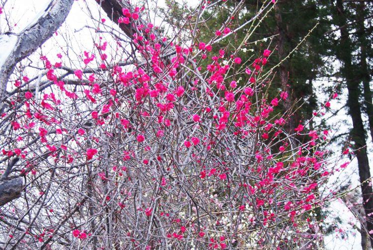 弘前市天満宮の紅梅