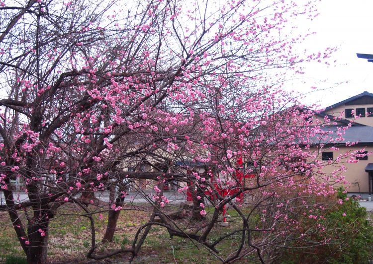 天満宮のピンク色の梅