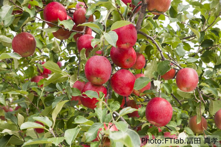 りんごの里のたくさんのりんご