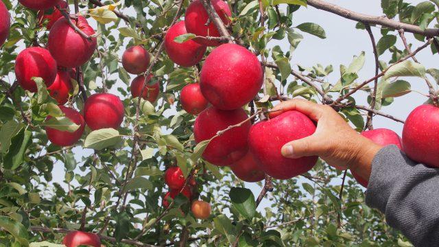 りんごの里でりんごもぎ