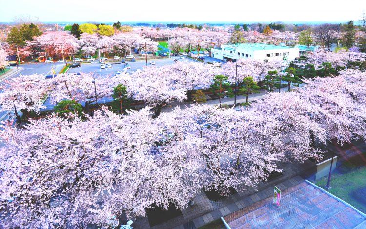 十和田市官庁街通り_桜並木