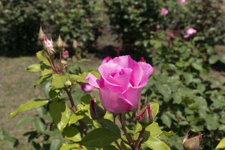 東八甲田ローズカントリーのバラ