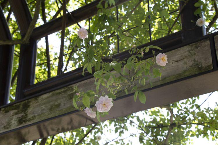 桜のようなバラ