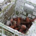 """雪の下で熟すフルーツのような甘さの""""ふかうら雪人参"""""""