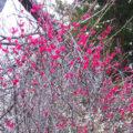 梅の香りにさそわれて ~弘前市天満宮の梅と津軽の梅干菓子~