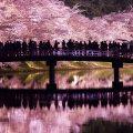 出ました弘前公園さくら開花宣言!青森県内のさくら名所の超最新情報