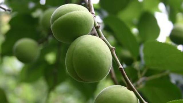 青森の美しい梅「豊後(ぶんご)」