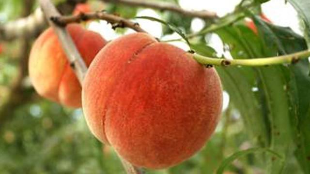 秋出しのおいしい桃