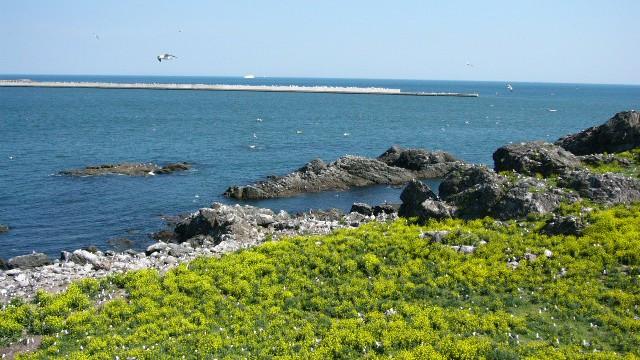 八戸:蕪島+ウミネコ