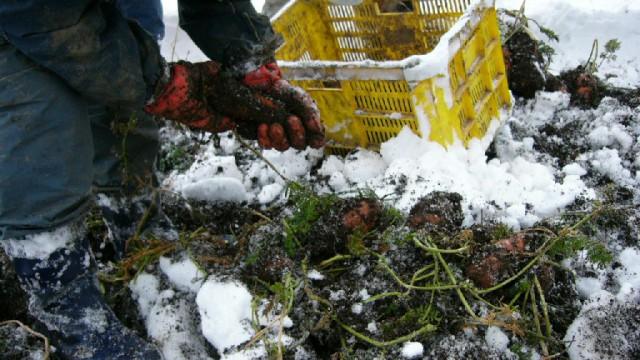 白神山地の麓~深浦雪にんじん