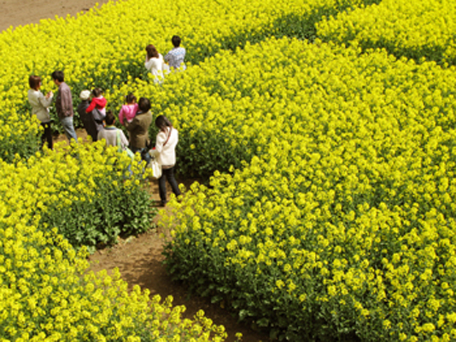 横浜町の黄色い迷路 「菜の花大迷路」