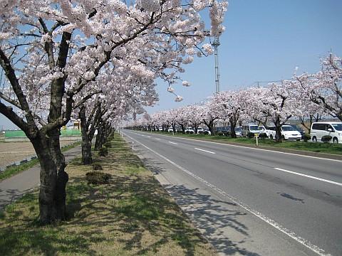 渋滞を期待したくなる桜並木の道