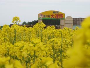 菜の花フェス ティバル