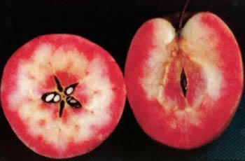 「赤~いりんご」
