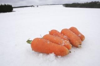 「雪中にんじん」
