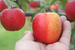 三戸町で出会った!小さな小さなりんご「ミニふじ」