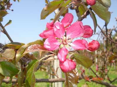 りんごの花びらまで赤く染まる「赤~いりんごの並木道」