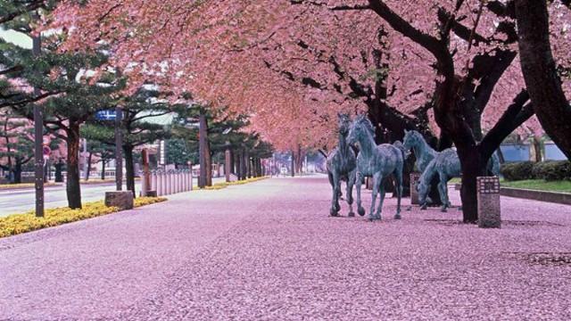 駒街道 さくら咲く