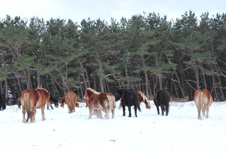 感動!アタカで越冬する尻屋崎の「寒立馬」